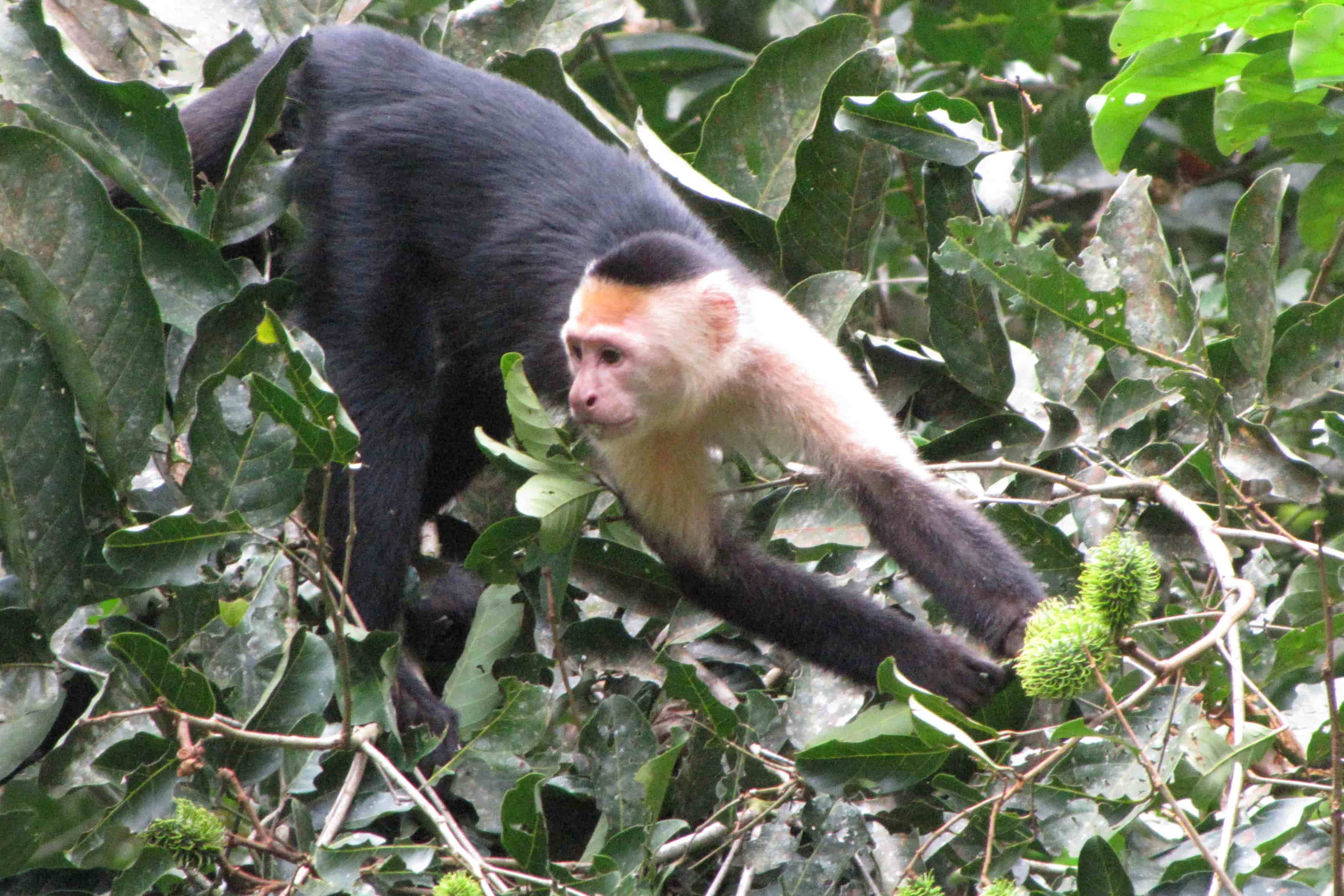 This Capuchin monkey is an example of the species that SLU anthropologist Katherine C. MacKinnon, Ph.D. studies.
